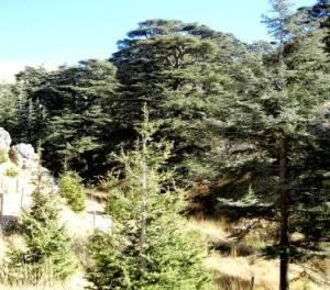 Cedri del Libano Cedars