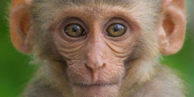 macaco-lentivirus-colera